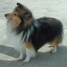 220px-Shetland_Sheepdog_600